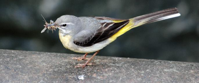 Grey wagtail collecting flying insects for nearby young - Amy Lewis - Amy Lewis